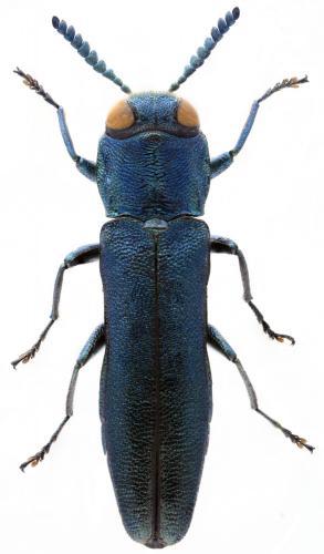Agrilus laticornis