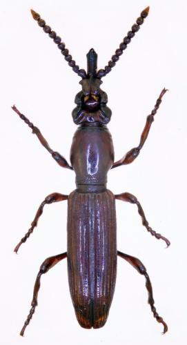 Amorphocephala coronata hembra