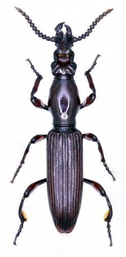 Amorphocephala coronata macho