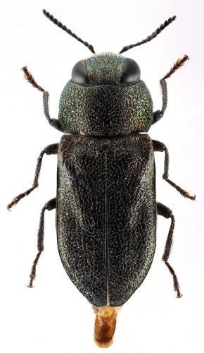 Anthaxia castiliana