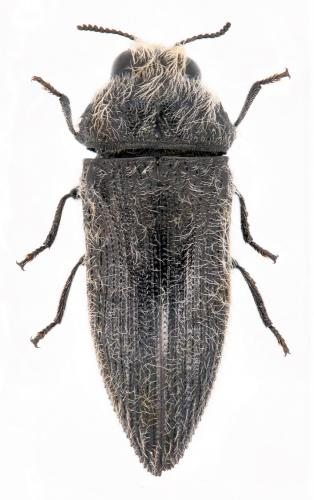 Acmaeodera cylindrica