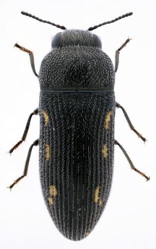Acmaeodera gaditana