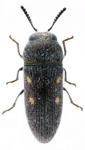 Acmaeodera nigellata