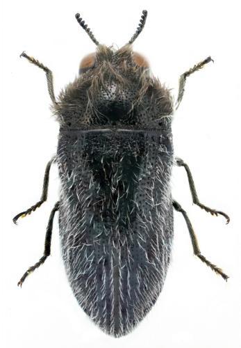 Acmaeoderella cyanipennis hispana