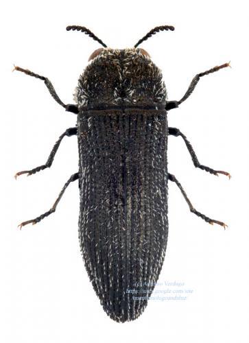 Acmaeoderella flavofasciata pilivestis