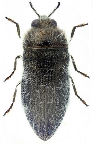 Acmaeoderella lanuginosa