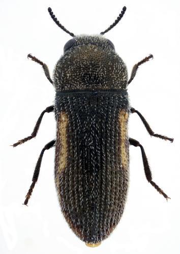 Acmaeoderella rufomarginata hembra