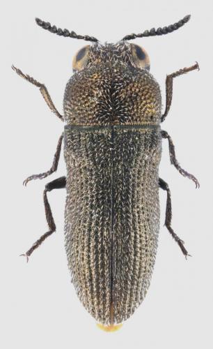 Acmaeoderella virgulata