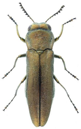 Agrilus albogularis artemisiae