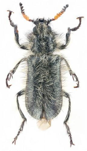Allotarsus senescens