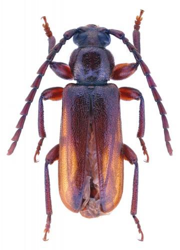 Alocerus moesiacus
