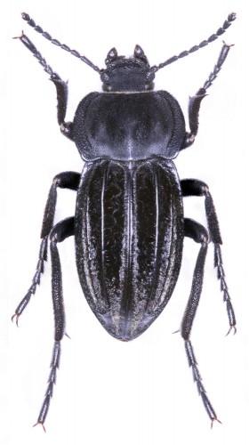 Coleoptera Tenebrionoidea