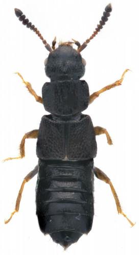 Anotilus nitidulus