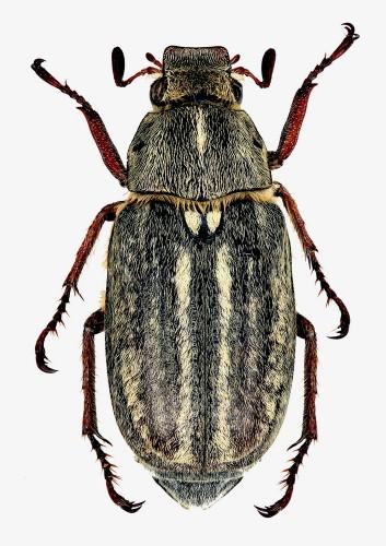 Anoxia australis
