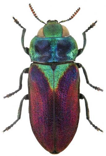 Anthaxia bicolor comptei