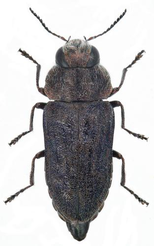 Anthaxia marmottani hispanica