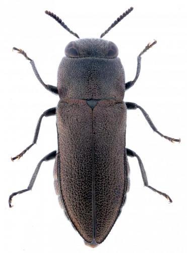 Anthaxia millefolii polychloros hembra