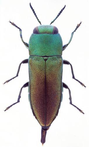 Anthaxia millefolii polychloros macho