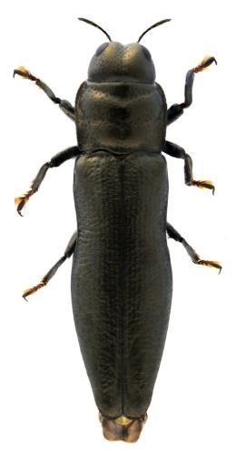 Aphanisticus angustatus