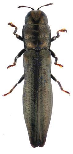 Aphanisticus elongatum filum