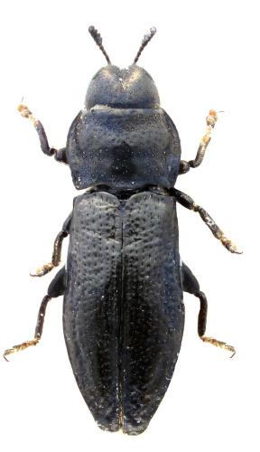 Aphanisticus pusillus