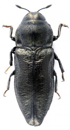 Aphanisticus pygmaeus