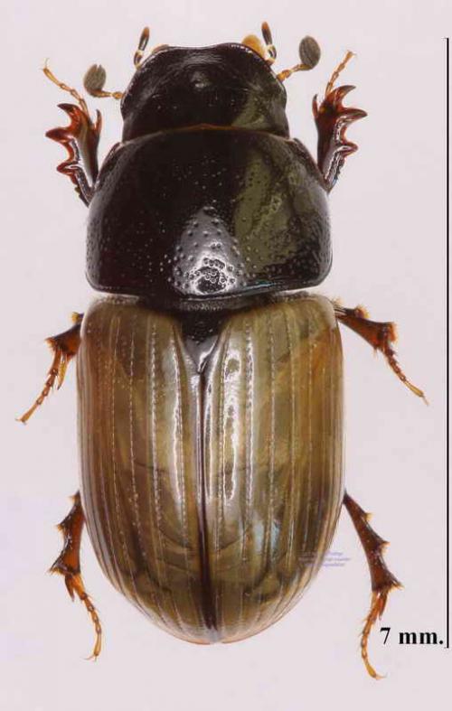Aphodius foetidus