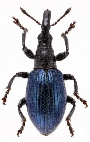 Coleoptera Curculionoidea