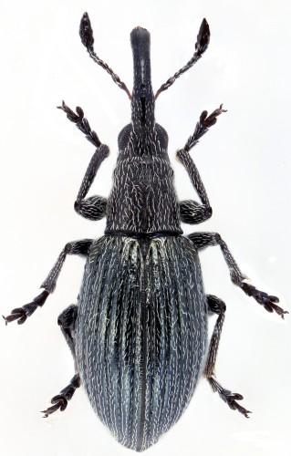 Aspidapion radiolus