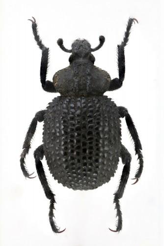 Brachycerus rotundicollis