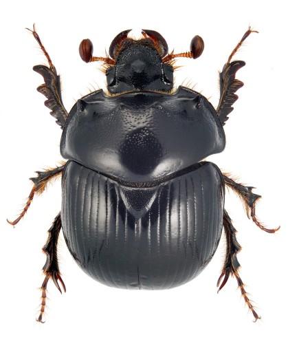 Bolbelasmus gallicus