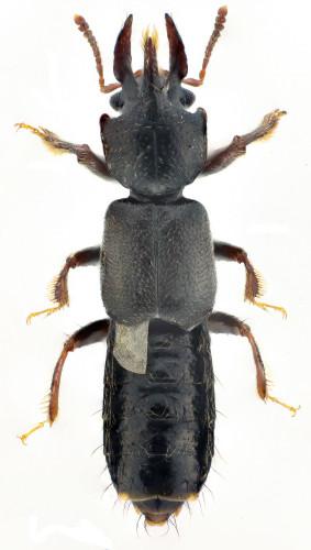 Bledius(Euceratobledius) furcatus