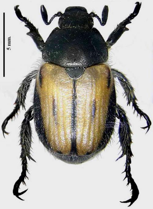 Blitopertha lineata
