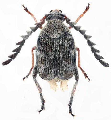 Bruchidius rubiginosus