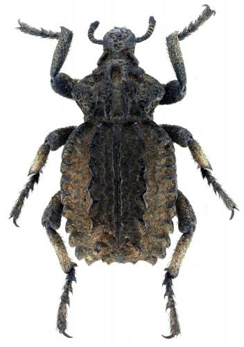 Brachycerus barbarus