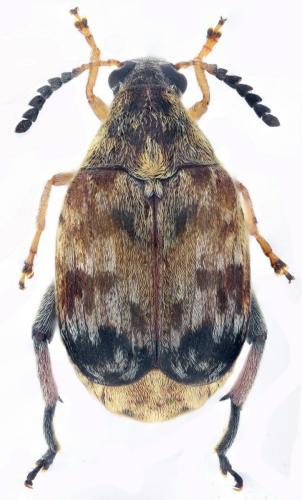 Megabruchidius tonkineus
