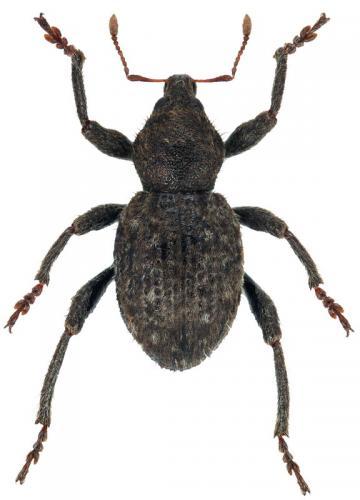 Bubalocephalus sp.