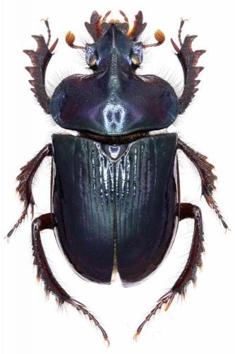 Cerathophyus martinezi