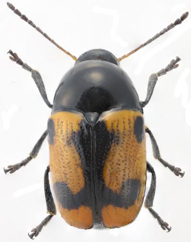 Cryptocephalus sp. hembra