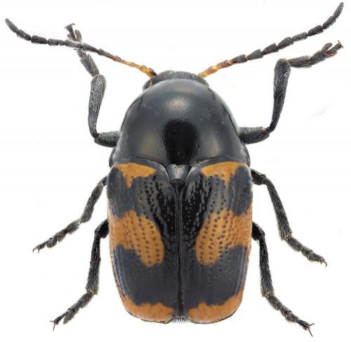 Cryptocephalus sp. macho