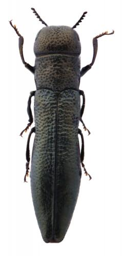 Cylindromorphus filum