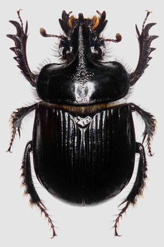 Cerathophyus hoffmannseggi