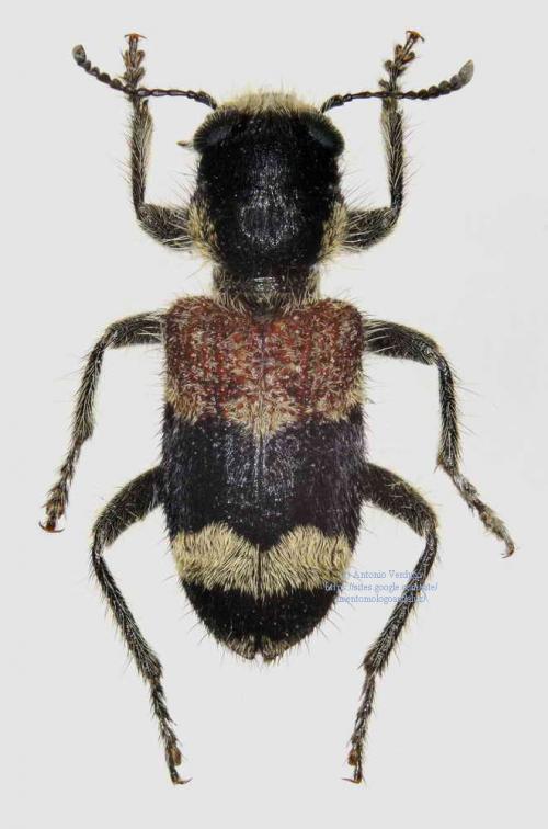 Clerus mutillarius