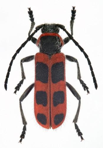 Calchaenesthes sexmaculata