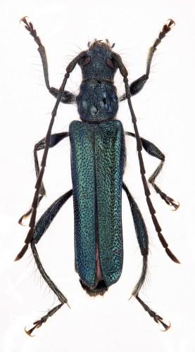 Callimus angulatus