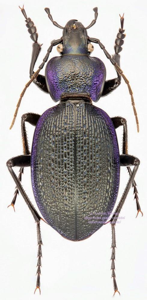 Carabus (Mesocarabus) dufouri