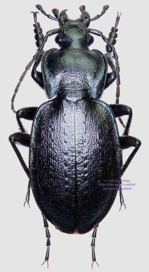 Carabus (Oreocarabus) guadarramus