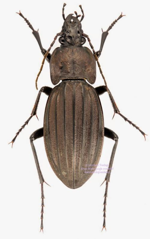 Carabus (Rhabdotocarabus) melancholicus submeridionalis