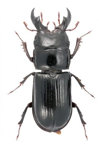 Ceruchus chrysomelinus