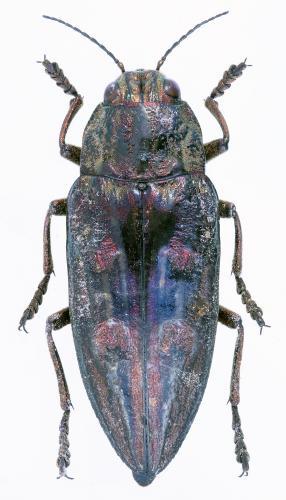 Chalcophora massiliensis